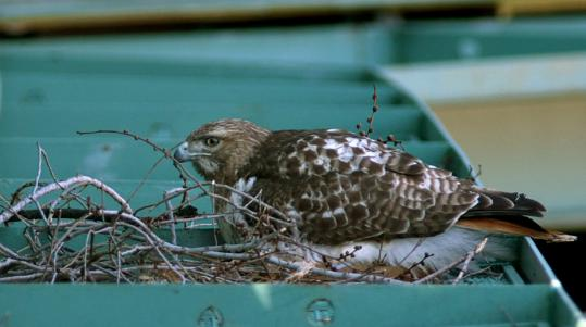 The red-tailed hawk returned to its nest in Fenway Park after attacking 13-year-old Alexa Rodriguez.