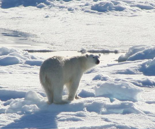 Quark Expeditions take you to bear territory at the North Pole.