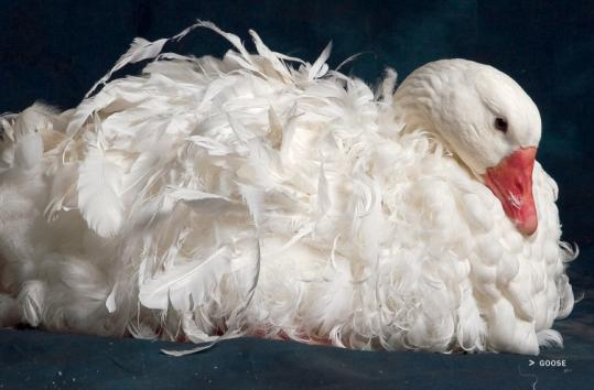 A Sebastopol goose, whose feathers are up to four times longer than those of other breeds, from Carol Ekarius's guide to fowl.