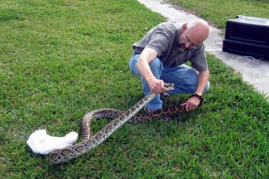 pythons in everglades. handled a python captured