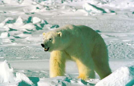 About 2,000 of the 25,000 polar bears in the Arctic live in and around the Chukchi Sea, where the government auctioned oil leases to Shell Oil Co. and six other companies for $2.6 billion. 'Polar bears are already protected,' the Interior secretary said.