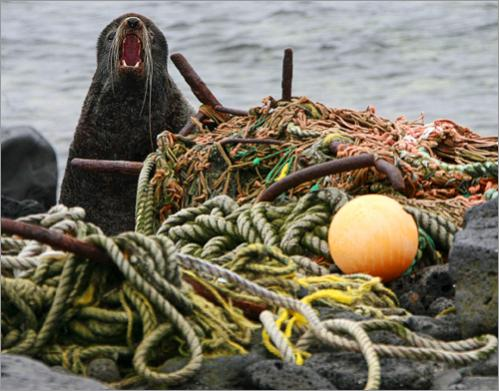 A male fur seal, sitting near marine debris, defends its territory on a beach on St. Paul Island, Alaska, Monday, June 2, 2008. Thousands of pounds of marine debris, including commercial fishing nets, crab pots, and ropes, wash up from the world's biggest fisheries endangering the fur seals that come the island to breed.