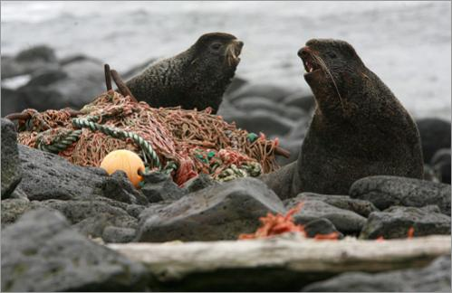 Male fur seals make their way through debris on a beach on St. Paul Island, Alaska Monday, June 2, 2008.