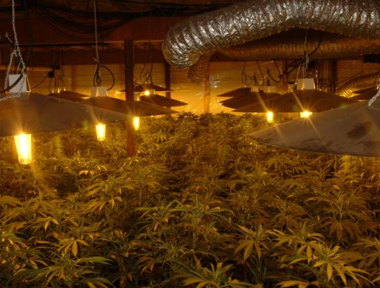 Marijuana plants grow under lights in a home raided by federal and local authorities in Southern New Hampshire. Recent reports say the potency of the drug has been rising.
