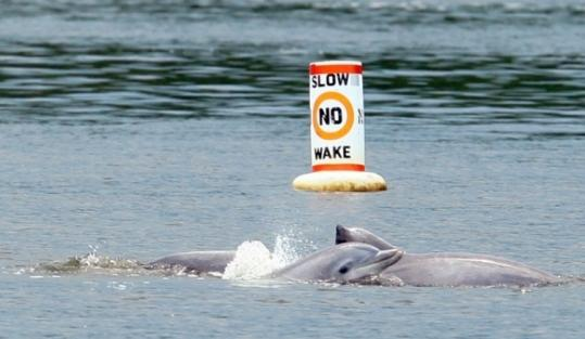 A pod of dolphins swam Tuesday in the Navesink River near where it meets the Shrewsbury River in New Jersey.
