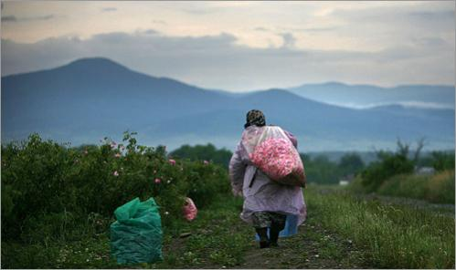 A woman carries a plastic bag filled with rose petals in the early morning on a rose field near the village of Tarnichene, some 200km (124miles) east of the Bulgarian capital Sofia June 9, 2008. A tranquil valley in central Bulgaria has blossomed in recent years as European Union cash and a global boom in organic beauty products containing rose oil helped revive their centuries old industry.