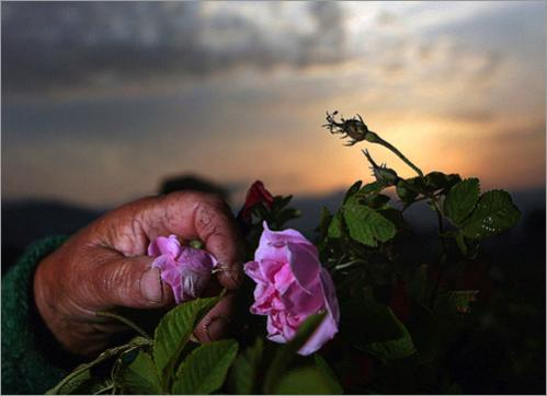 A worker picks a rose in the early morning near the town of Kazanluk. Bulgaria is traditionally one of the biggest exporters of rose oil along with neighbouring Turkey and Morocco. But after the fall of communism in 1989 and the ensuing transition to market economy, many of its 2,500 hectares of gardens were neglected or uprooted and rose oil production shrunk drastically. Today Bulgaria exports up to 1,500 kilograms of pure rose oil a year from its current 3,200 hectares of gardens and Bulgaria's rose oil is still valued as the highest quality in the world.