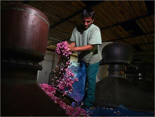 A worker puts Rosa Damascena in a special distillation cauldron prior to the beginning of the distillation process in the village of Tarnichane.
