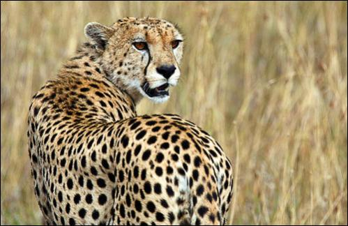 A cheetah observes the plains in Masai Mara game reserve July 24, 2008. The annual zebra and wildebeest migration is expected to attract a large number of tourists after the post-election violence when many cancelled their holidays to the country.