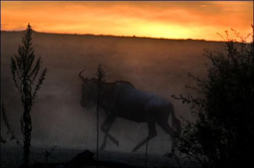 A wildebeest scrambles on the top of a river embankment after successfully crossing the Mara River during the annual wildebeest migration through the Masai Mara National park in Western Kenya on August 15, 2008. They are relentless in their advance and many are injured, lost (especially calves) or killed.