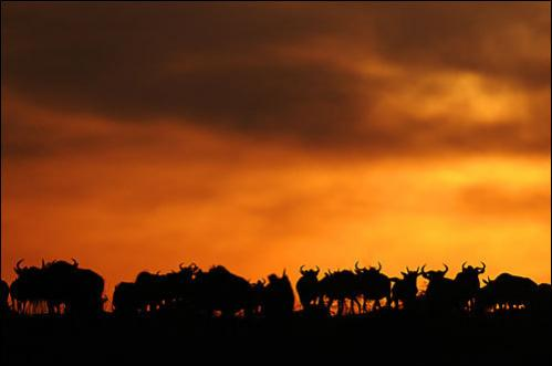 A herd of wildebeest gather at the top of a hill at sunset after they successfully crossed the Mara River during the annual migration through the Masai Mara National park in Western Kenya on August 15, 2008.