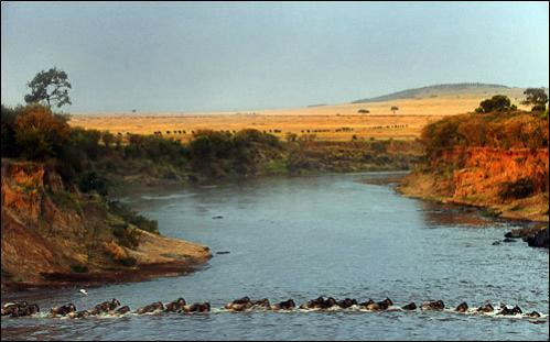 Wildebeest cross the Mara River during their annual migration through the Masai Mara National park in Western Kenya on August 15, 2008. According to the African Wildlife Foundation, the largest mammal migration in the world is that of the Serengeti wildebeest.