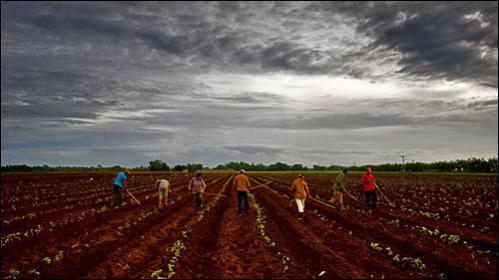 Cuban peasants work under a thick mantle of stormy clouds near Batabano, 60km south of Havana on August 18, 2008 on the impending arrival of tropical storm Fay.