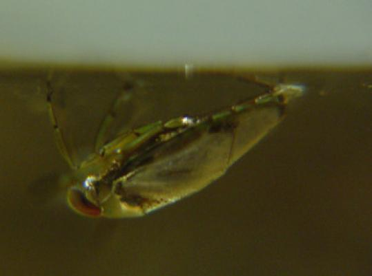 The backswimmer hangs from the water's surface.