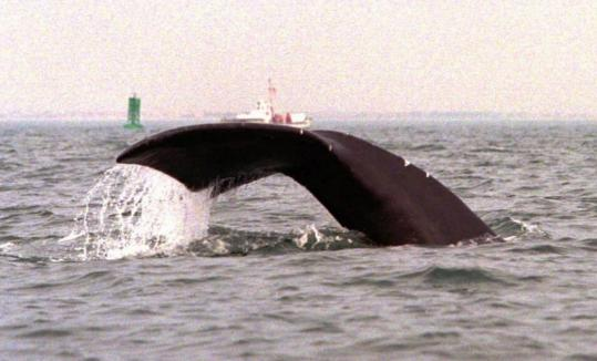 A right whale showed its tail flukes as it dived off the coast of Provincetown. About 300 to 400 of the whales are left in the wild.
