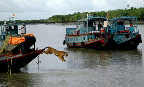 Indian forestry workers look on as a male Royal Bengal Tiger leaps off a boat into the water after being released back into the wild in The Chamta Forest District of The Sunderbans, some 150 miles south of Kolkata on September 4, 2008. The tiger was declared fit for release by veterinarians after it was recently rescued from a nearby village.