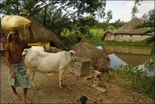 A man walks past tethered cows in Bali, a village threatened by tigers in the Sundarbans, India, Tuesday, Aug. 5, 2008.