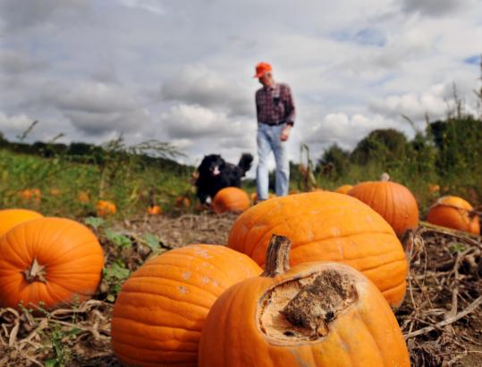 Christine Peterson for the boston GlobeStanley Brzoska of Pumpkin Valley Farm in Southwick, with his dog, said mold has taken a toll. He expects to harvest less than half his usual 40 tons.