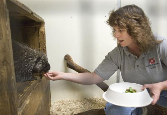Bunny Watson, live animal curator at the Museum of Science Boston, feeds one of two porcupines at the center.