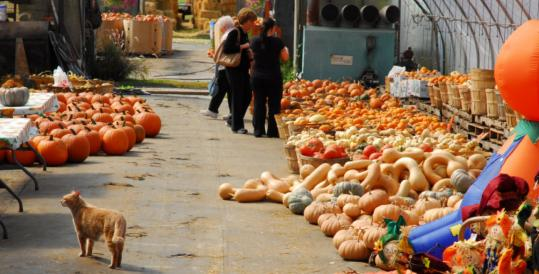 For most of the year Frerichs Farm in Warren, R.I., is a nursery that sells annuals, perennials, and vegetable plants. But in the fall it celebrates all things pumpkin, and has its own Great Pumpkin Patch with Peanuts cartoon figures.