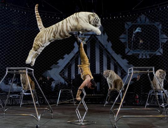 Tabayara Maluenda performs with Royal Bengal and white tigers at the circus.