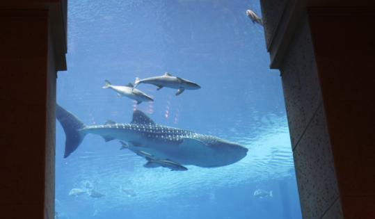 Environmentalists have called on the managers of a massive new marine-themed resort in Dubai to release a whale shark they are holding inside a giant fish tank.
