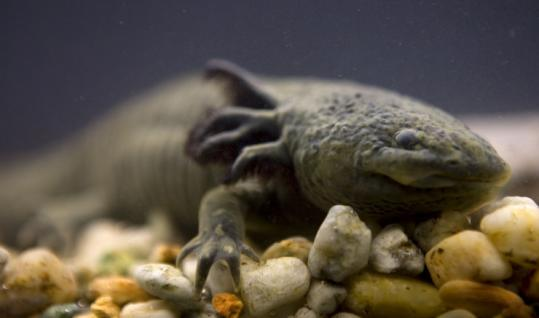 Scientists are debating ways to save the Axolotl salamander. This one is a resident of Chapultepec Zoo in Mexico City.