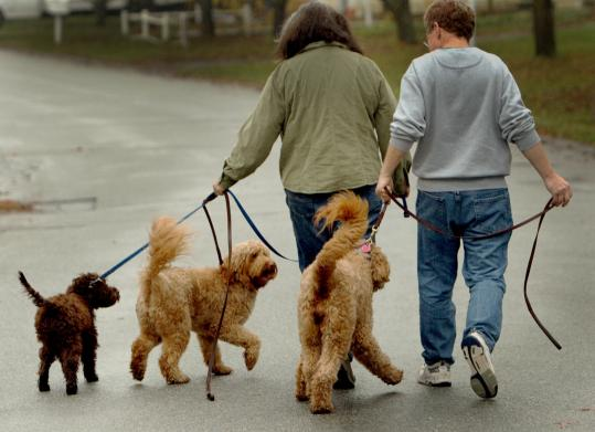 Kathryn and Paul Yamartino walked their goldendoodles, Zuri (from left), Tino, and Kaya, outside their Acton home. There has been talk that 10-year-old Malia Obama put in a bid for a goldendoodle after her father promised a puppy for the White House.