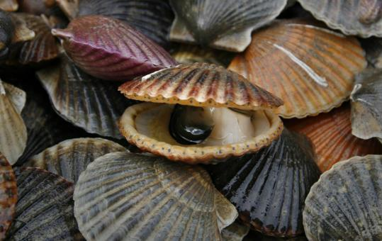 Young scallops or ''recruits'' take from two to five years to reach a legal harvest size like these caught off the waters of Duxbury.