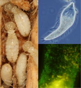KEEPING BUSY - Over the past year, there have been many studies attempting to explain the innards of termites. Researchers want to learn how they break down wood.