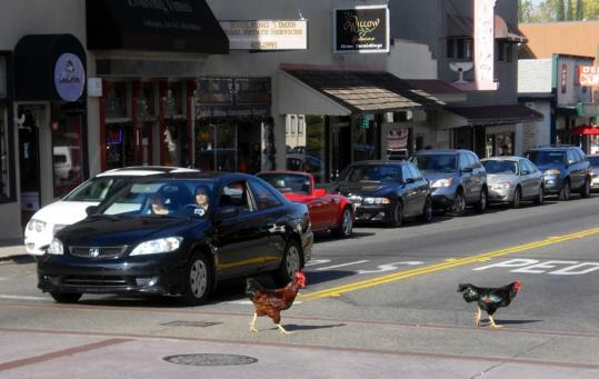 The first birds arrived in Fair Oaks in 1977 when an artist moved in with a rooster and three hens. Now the fowl rule the roost, regularly stopping traffic as they run around the town square.