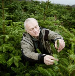 Paul Norup inspects Christmas trees.
