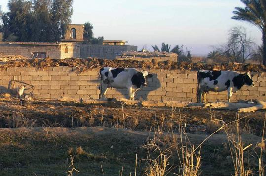Cows near the Ramadi area of Iraq. The US Marine Corps bought 50 cows for 50 Iraqi widows as a small step toward reviving the economy and helping women and children struggling in Iraq.