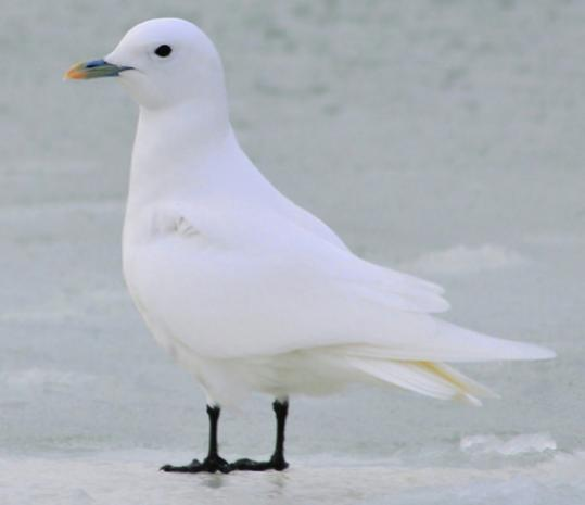 The ivory gull sighted in Gloucester. It and a second bird, spotted in Plymouth this week, are the first found in Massachusetts the state in more than two decades. The species usually winters on ice north of Newfoundland, ornithologists said.