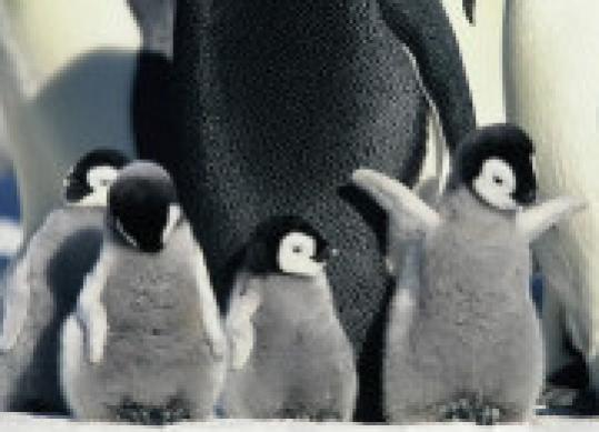 The largest penguins may suffer serious population declines before century's end.