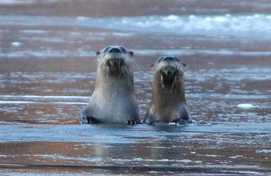 North American otters observing a human visitor on the Charles River.