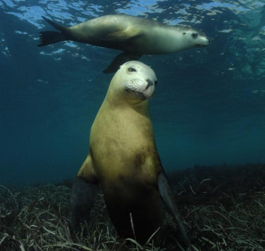 Australian sea lions are part of the vast universe of life seen in Howard Hall's follow-up to ''Deep Sea.''