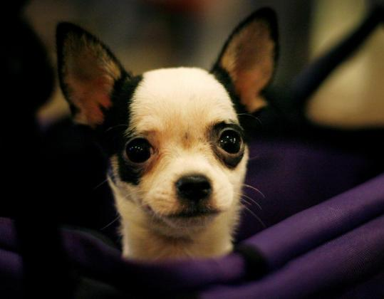 A Chihuahua at this year's Westminster Kennel Club Dog Show. ''Animals really do have emotions,'' writes Temple Grandin.