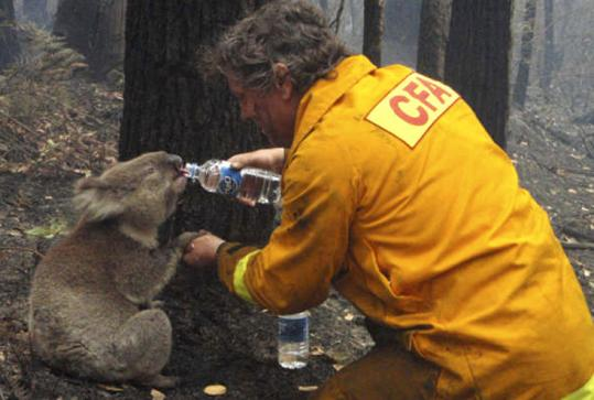 HEATING UP - Global warming cannot be blamed for starting the wildfires across Australia, but the effects of climate change exacerbated their ferocity, some specialists said last week. Eucalyptus forest and farms of Australia are becoming warmer, drier, and more prone to fire as the planet heats up, they warned. Firefighter David Tree shares his water with an injured Koala at Mirboo North.