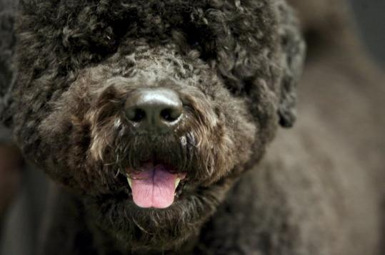 Portuguese water dogs, bred to work with fishermen and known for their high energy, are notoriously hard to handle.