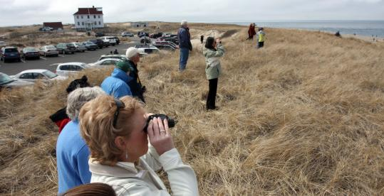 A crowd gathered yesterday on Provincetown's Race Point Beach hoping to catch a glimpse of the whales recently seen nearby.