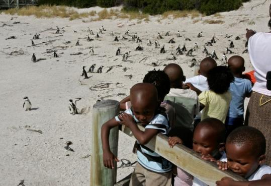 Children looked at penguins in Simons Town, South Africa. Overfishing and pollution have posed a big threat to penguins.
