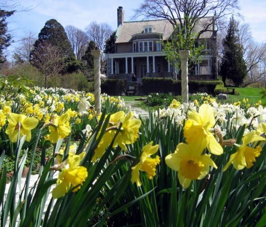 Daffodil Days are on at Blithewold Mansion in Bristol, R.I.