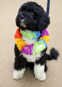 Bo wore a lei during a recent trip to the White House.