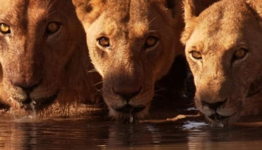 Lions in the Kalahari Desert wait for dark to fall before they hunt elephants in the movie ''Earth.''