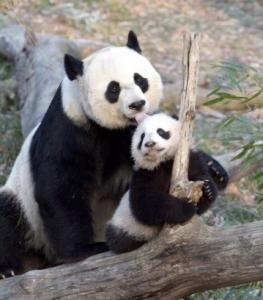 Mei Xiang, with her cub Tai Shan, five months after his birth in summer 2005.