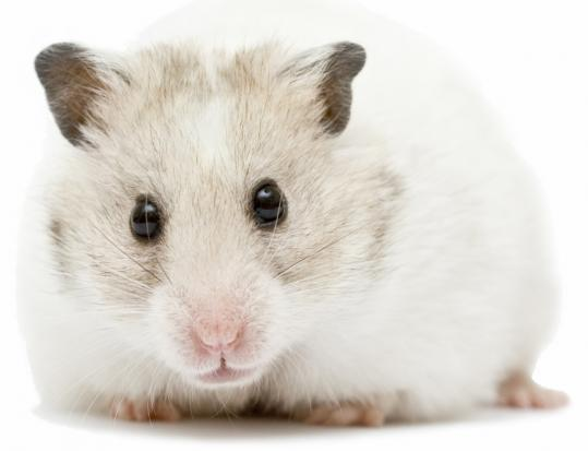 The Syrian hamster, which can modulate its metabolism as the seasons changes, was the inspiration behind VeroScience's Cycloset, which is used to treat type 2 diabetes.
