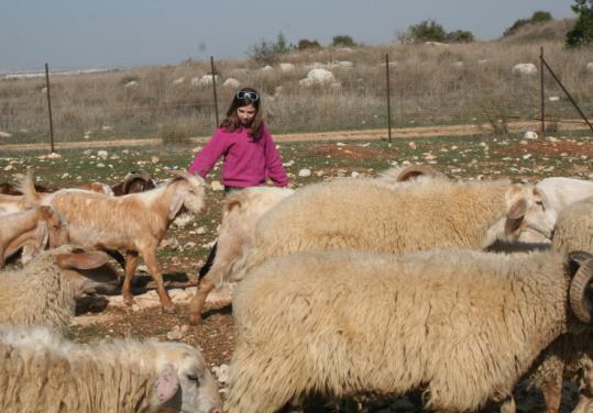 Melanie, 10, guides sheep at Neot Kedumim nature reserve.