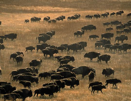 Resurgent buffalo on the Great Plains. Steve Nicholls argues in favor of nurturing nature, and fostering bounty.