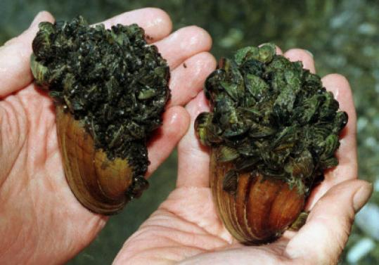 Zebra mussels have been found in Laurel Lake in Lee and Lenox.